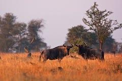 Blauwe het meest wildebeest, Connochaetes-taurinus Stock Afbeeldingen