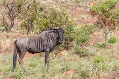 Blauwe het meest wildebeest: Connochaetestaurinus royalty-vrije stock fotografie