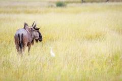 Blauwe het meest wildebeest in hoog gras met een Veeaigrette Royalty-vrije Stock Fotografie