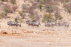 Blauwe het meest wildebeest, ook geroepen getijgerd GNU, Connochaetes-taurinus stock afbeeldingen