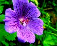 Blauwe Himalayan-Geranium Royalty-vrije Stock Afbeeldingen