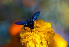 Blauwe hommel op de bloeiwijze van de zwart-kippen in de botanische tuin De bloem is zeer rijk en helder Bestuiving van stock afbeeldingen