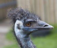 Blauwe Hoofd Dichte Omhooggaand van de emoe Stock Fotografie