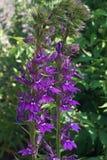 Blauwe hoofdbloem Close-upbeeld van bloemen stock afbeelding