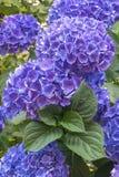 Blauwe hortenisabloemen Stock Foto's