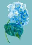 Blauwe hortensewaterverf Stock Afbeeldingen