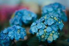 Blauwe Hortensia Flower Detail op Serre Bloemenachtergrond Royalty-vrije Stock Foto's