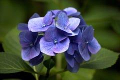 Blauwe hortensiahydrangea hortensia Royalty-vrije Stock Foto