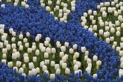 Blauwe hyacint en witte tulpen stock afbeelding
