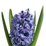 Blauwe Hyacint op wit Royalty-vrije Stock Afbeelding