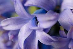 Blauwe hyacintbloei Royalty-vrije Stock Foto's