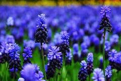 Blauwe hyacintbloem royalty-vrije stock foto's