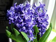 Blauwe hyacintbloem door een zonnig venster royalty-vrije stock afbeelding