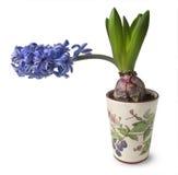 Blauwe hyacintbloemen in potten Royalty-vrije Stock Foto's