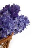 Blauwe hyacinten Stock Afbeelding