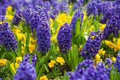 Blauwe Hyacinten royalty-vrije stock afbeeldingen