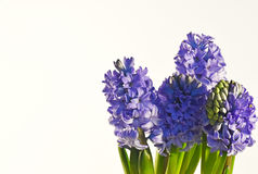 Blauwe Hyacinten Royalty-vrije Stock Foto