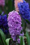 Blauwe Hyacinten in de lentetuin stock foto