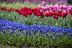 Blauwe hyacinten op een achtergrond van rode en roze tulpen stock afbeeldingen