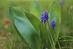 Blauwe Hyacinth Muscari & x28; Muscari botryoides& x29; in de lente stock afbeelding