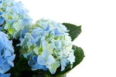 Blauwe Hydrangea hortensia Royalty-vrije Stock Foto's