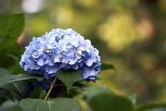 Blauwe hydrangea hortensia. Royalty-vrije Stock Foto