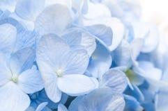 Blauwe Hydrangea hortensia Stock Fotografie
