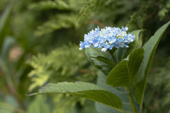 Blauwe Hydrangea hortensia Royalty-vrije Stock Foto