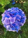 Blauwe Hydrangea hortensia royalty-vrije stock afbeeldingen