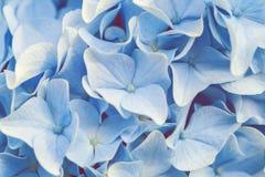 Blauwe Hydrangea hortensia of Hortensia-bloemachtergrond royalty-vrije stock fotografie