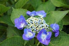 Blauwe Hydrangea hortensia in Groen. Stock Afbeelding