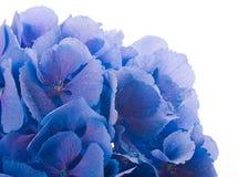 Blauwe hydrangea hortensia's Royalty-vrije Stock Foto