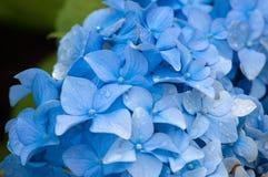Blauwe Hydrangea hortensia's Stock Fotografie
