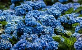 Blauwe Hydrangea hortensia's Stock Afbeelding
