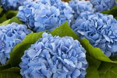 Blauwe Hydrangea hortensia's Perfecte bijna meetkunde royalty-vrije stock foto