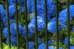 Blauwe Hydrangea hortensia's in volledige bloei royalty-vrije stock fotografie