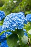 Blauwe hydrangea hortensiabloem Stock Foto
