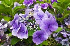 Blauwe hydrangea hortensiabloem Royalty-vrije Stock Afbeeldingen