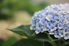 Blauwe hydrangea hortensiabloem Royalty-vrije Stock Fotografie