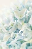 Blauwe hydrangea hortensiabloem met kleureneffect Stock Foto's