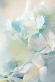 Blauwe hydrangea hortensiabloem met kleureneffect en solf licht Royalty-vrije Stock Fotografie
