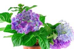 Blauwe hydrangea hortensiabloemen op wit Stock Fotografie