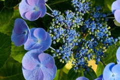 Blauwe hydrangea hortensiabloesem Royalty-vrije Stock Foto's