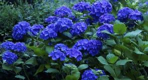 Blauwe Hydrangea hortensiastruik Royalty-vrije Stock Afbeelding