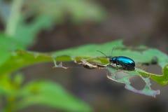 Blauwe insecten op de bladeren met gaten, op de natuurlijke achtergrond stock fotografie