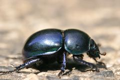 Blauwe insectenclose-up Royalty-vrije Stock Foto