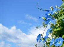 Blauwe ipomoea Stock Afbeelding