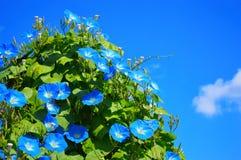 Blauwe ipomoea royalty-vrije stock afbeelding