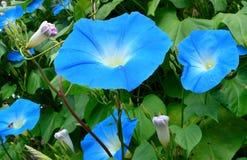 Blauwe ipomoea. De glorie van de ochtend Stock Afbeeldingen