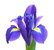 Blauwe iris Royalty-vrije Stock Afbeelding